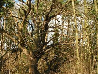 Surrounded by elder, sycamore and pine this oak is king of the sandpit. Marie